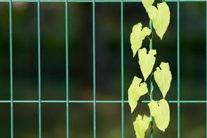 fond naturel avec plante rampante sur les barres métalliques photo