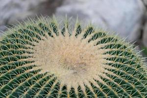 fond naturel avec de grandes épines de cactus lumineuses photo