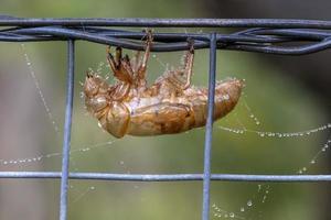 Un insecte cigale mort collé à une clôture avec des toiles d'araignées photo