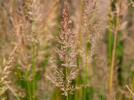 Têtes de graines d'herbe de roseau plume coréenne photo