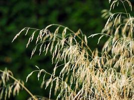 Herbe ornementale attraper la lumière du soleil dans un jardin photo