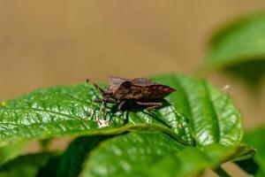 bug de bouclier en bronze sur une feuille verte photo