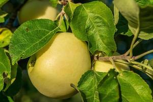 Gros plan d'une pomme jaune poussant dans un arbre photo