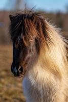 Jeune cheval islandais de couleur pinto dans la lumière du soleil du soir photo