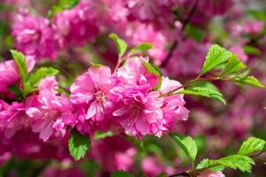 beau fond rose floral de fleurs de sakura photo