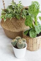 Ficus benjamin dans un panier de paille, maranta kerchoveana et cactus sur la table photo