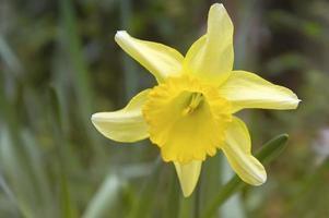 fond naturel avec fleur de narcisse jaune photo
