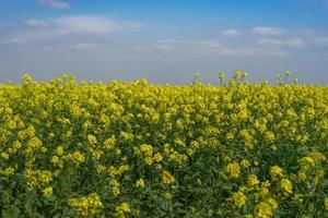 paysage naturel avec un champ de colza. photo