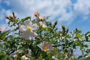 Fleurs de rose sauvage rose sur fond de ciel bleu photo