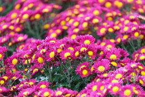 Fond floral avec chrysanthème rose vif avec un noyau jaune sur fond flou photo