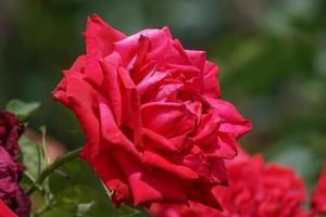 fond floral avec des roses rouges luxuriantes. nature, aménagement paysager. photo