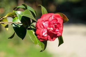 fleur de camélia rose sur fond vert flou. photo