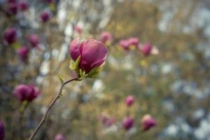 Fleurs de magnolia rose sur l'arrière-plan flou marron clair avec bokeh photo
