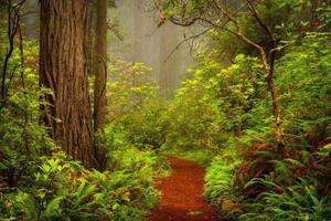 Redwoods et rhododendrons le long de la Damnation Creek Trail à del Norte Coast Redwoods State Park, Californie, USA photo