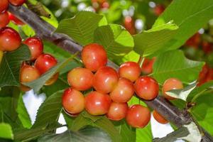 Close up de cerises jaunes et rouges fraîches sur la branche d'arbre photo