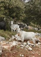 chèvres sauvages dans la nature photo