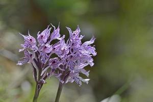 Neotinea commutata var fleur photo