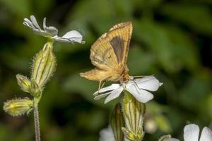 papillon de nuit sur une petite fleur blanche photo