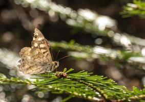 papillon brun sur pin photo