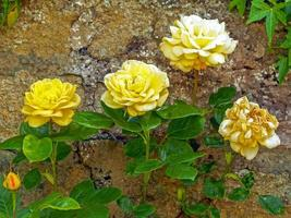 roses jaunes qui fleurissent dans un jardin clos photo