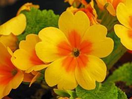 Gros plan d'une fleur de primevère jaune vif photo