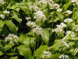 jolies fleurs blanches et feuilles vertes d'ail sauvage photo