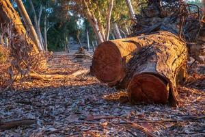 Couper l'écorce des arbres au lac Athalassa, Chypre baignée de lumière chaude de l'après-midi photo