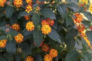 fleur d'oranger lantanas photo