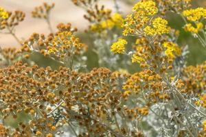 fleurs de marguerite jaune photo