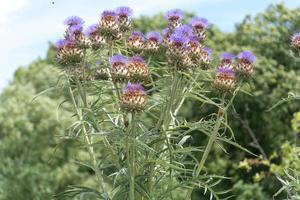 chardon de lance fleurs violettes photo