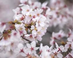 belle fleur de pêcher au japon photo