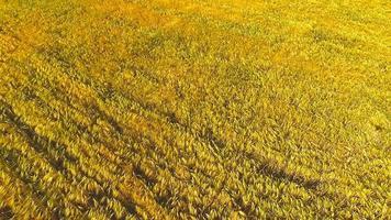 champs de blé à la fin de l'été bien mûrs photo