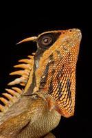 Le dragon à cornes des montagnes de Natalia Acanthosaura nataliae photo