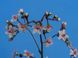 Gros plan de délicates fleurs et bourgeons de fierté de Londres photo