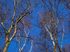 Branches d'arbres de bouleau argenté dans la lumière du soleil d'hiver photo