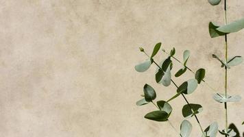 eucalyptus sur fond beige photo