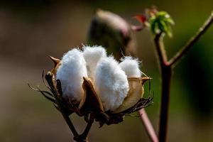 Libre d'une capsule de coton brut poussant dans un champ de coton photo