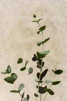 branche d'eucalyptus avec ombre photo