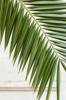 feuilles de palmier sur fond neutre photo