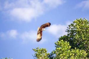 faucon rouge tout en volant dans le ciel. photo