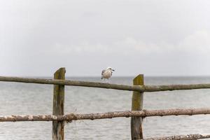 mouette sur une clôture photo