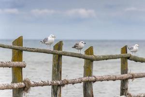 mouettes sur une clôture avec la mer en arrière-plan photo