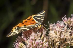 papillon de nuit sur une fleur lumineuse photo