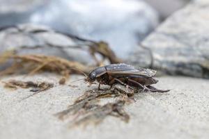 Grand coléoptère essaim sur un rocher photo