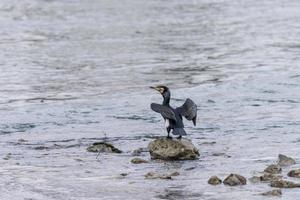 cormoran sur un rocher photo