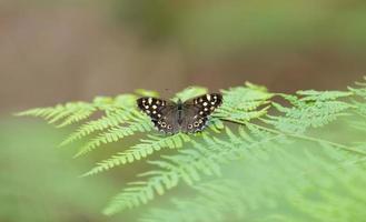 petit papillon noir sur une fougère photo