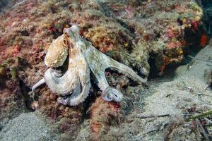 poulpe commun de la mer méditerranée photo