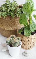 ficus dans un panier de paille, maranta et cactus photo