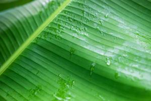 le fond de gouttelettes d'eau sur les feuilles de bananier après la pluie. photo