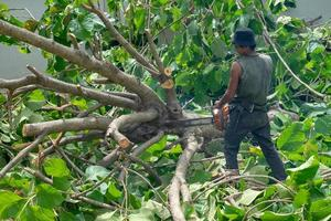 Portrait d'arboriculteur coupant les branches d'un arbre en teck doré par tronçonneuse avec motion floue sciure volant autour photo